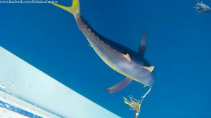 Yellowtail-Snoek-Reef Inshore fishing charter Cape Town