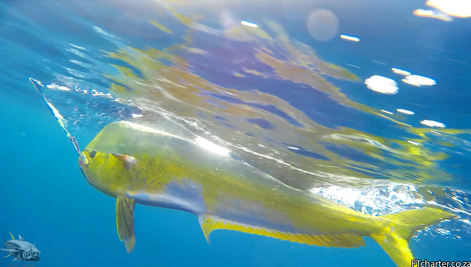 Dorado underwater1 fish tales charters for Fish tales charters